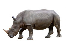 Rhinoceros Isolated On White B...