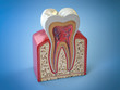 canvas print picture - Dental tooth structure. Cross section of human tooth on blue background.
