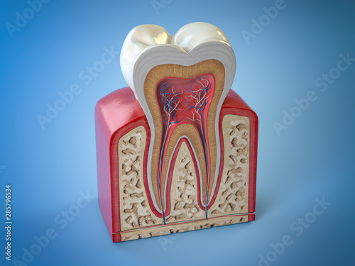 Dental tooth structure Fototapeta