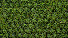 Aerial Top View On Plantation Of Palm Trees Texture Background.