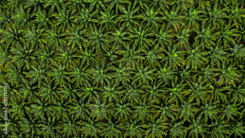 Aerial top view on plantation of palm trees texture background. - 285797162