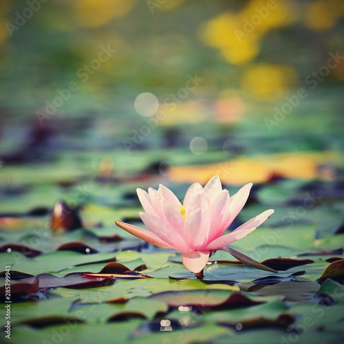 Poster de jardin Nénuphars Beautiful flowering pink water lily - lotus in a garden on a small lake. Reflections on water surface.