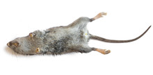 Dead Rat Closeup Isolated On W...