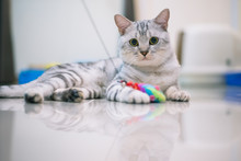 American Shorthair Cat Looking At Camera And Playing With A Toy At Home.