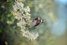 Lesser Wanderer Butterfly, Danaus Chrysippus, Feeding On Western Australian Native Grevillea Vestita Flowers. Butterfly Also Known As The Plain Tiger, African Queen And Lesser Monarch.
