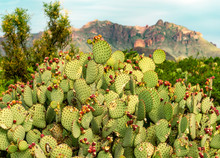 A Prickly Pear Cactus After Its Flowers Have Fallen Off Sitting In Front Of A Tall Mountain