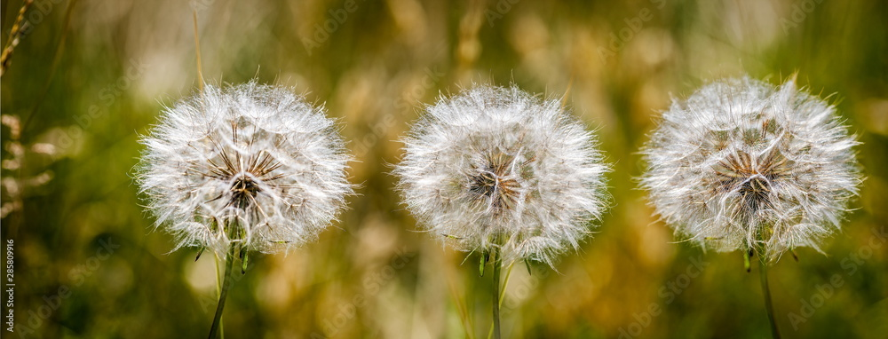 Fototapety, obrazy: Autumn background with a mature dandelion,