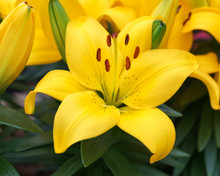 Yellow Lily Flowers Growing In A Summer Garden.
