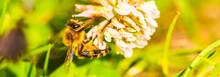 Honey Bee On White Flower Whil...