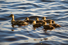 Mother Duck With Six Baby Duck...