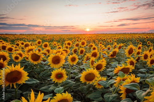 Foto auf Leinwand Schwarz Landscape of ripe golden blooming sunflowers and stunning sunset at the background