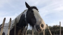 Low Angle Shot Head Of Spotted Black White Horse Behind Old Barbed Wire Fence 4K