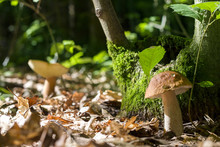 Two Boletus In Sunny Forest