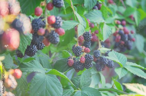 Fotografia, Obraz Blackberry berries on the bushes in the garden. Selective focus.