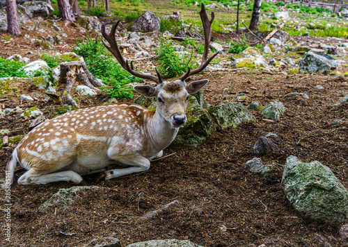 jelen-na-polanie