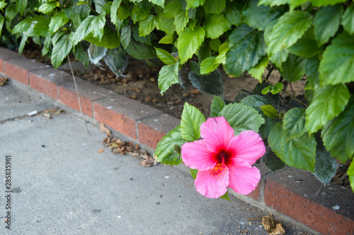 Perfect pink hibiscus flower draws the eye immediately, standing out from the lush green foliage and sidewalk