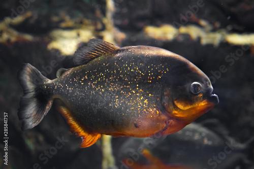 Obraz na plátne Red-bellied piranha, popular freshwater aquarium fish