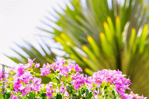 Pink flowers of blooming bougainvilia in Ho Chi Minh Fototapeta