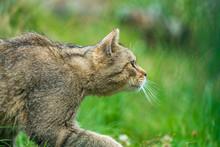 Wildcat (felix Silvestris) Slinking Through Grass To Find Prey