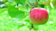 canvas print picture - Reife rote Äpfel - Apfelbäume - Obstgarten in Südtirol
