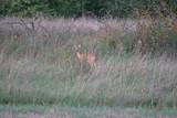 Sarna ,dzikie zwierzęta ,młoda sarna ,jeleniowate