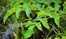 Blue European Demoiselle -  (...