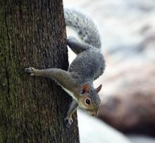 Squirrel Climbing Down A Tree