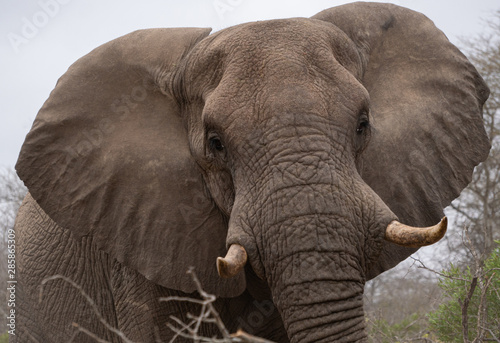 Photo sur Aluminium Elephant Close up face of mature African elephant with tusks