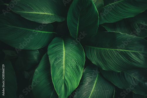 Keuken foto achterwand Natuur Large foliage of tropical leaf with dark green texture, abstract nature background. vintage color tone.