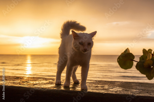 Cute Big White Cat is sitting by the Beach on the Caribbean Sea during a dramatic cloudy sunset Canvas Print