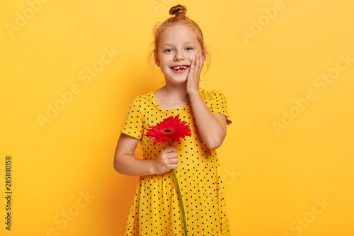 Obraz Happy little child with ginger hair bun, touches gently cheek, wears fashionable yellow polka dot dress, holds red gerbera, wants to give flower for her mommy, has cheerful expression. Bright colors - fototapety do salonu