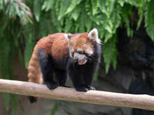 Cute Red Panda Living In The Forest