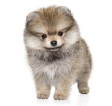 Pomeranian Spitz Puppy In Front On White Background