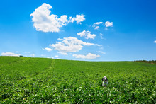 Happy Dog Running Through A Cultivated Field. A Green Field And A Blue Sky With Clouds, The Dog Is A Dalmatian.