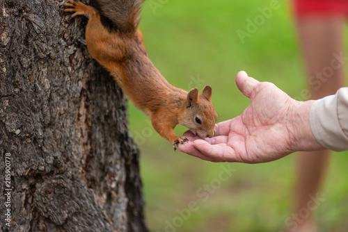 Photo sur Toile Squirrel Squirrel on a tree eats nuts from a hand, close-up