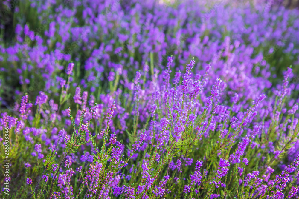 Fototapety, obrazy: Common heather (Calluna vulgaris) blooming in a forest
