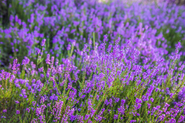 Common heather (Calluna vulgaris) blooming in a forest