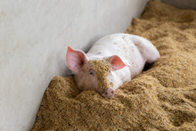 Lovely Pig In Organic Rural Fa...