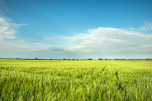 Green Barley Field, Horizon An...
