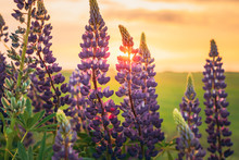Wild Flowers Lupine In Summer Field Meadow. Close Up. Lupinus, Lupin