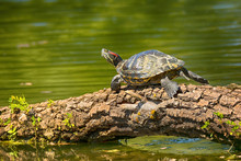 .Wild Red-eared Turtle In The Pond