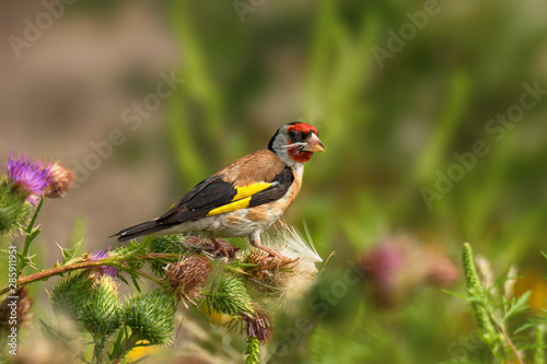 Fototapeta Bright goldfinch sitting on flowers