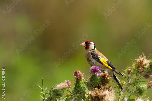 Leinwand Poster Bright goldfinch sitting on flowers