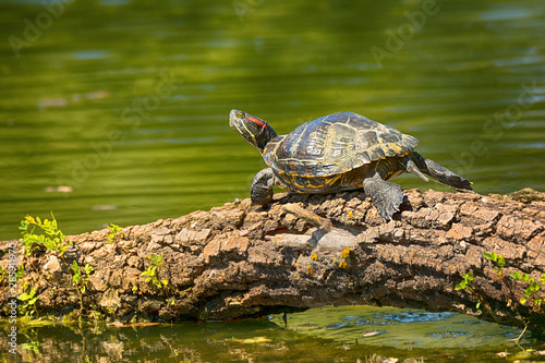 Obraz na plátně  .Wild Red-eared turtle in the pond