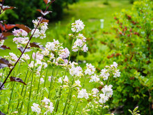 Common Soapwort (Saponaria Officinalis) Or Crow Soap, Perennial Plant Used As Soap, Blooming In A Summer Garden