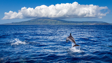 FototapetaDolphin jumping out of the water, island of Faial (Azores) in the background.