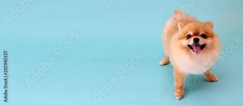 Photo  Pomeranian dog with blue backdrop.