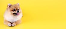 Pomeranian Dog With Yellow Bac...