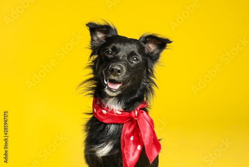 Cute black dog with neckerchief on yellow background Fototapete