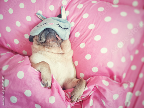 Obraz Cute pug dog sleep rest with funny mask in the bed, wrap with blanket and tongue sticking out in the lazy time. - fototapety do salonu